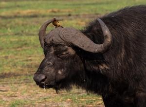 Afrikanischer Büffel mit Rotschnabel Madenhacker