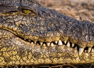 Crocodylus niloticus Maul