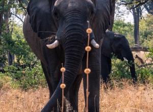 Elefant und Samenstand von Löwenohr