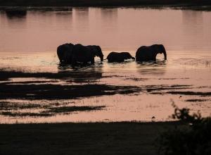 Elefanten queren den Chobe River II