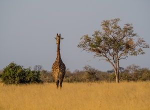 Giraffe und Horizont