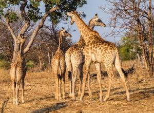 Giraffentreffen
