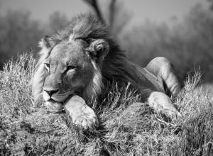 Löwe auf Termitenhügel III