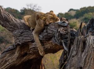 Löwin auf Baum III