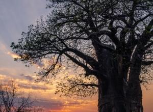 Baobab beim Sonnenuntergang (1 von 1)