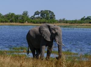 Elefant in Moremi (1 von 1)