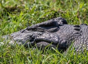 Krokodil am Chobe River (1 von 1)