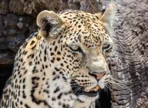 Leopard III (1 von 1)