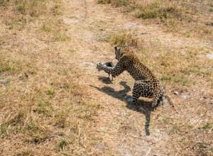 Leopard X (1 von 1)