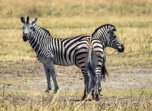 Siamesischer Zebra-Zwilling (1 von 1)
