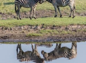 Zebras am Chobe River (1 von 1)
