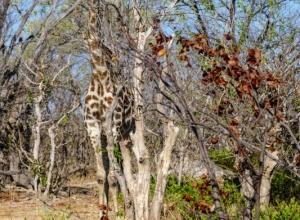 gut getarnte Giraffe (1 von 1)