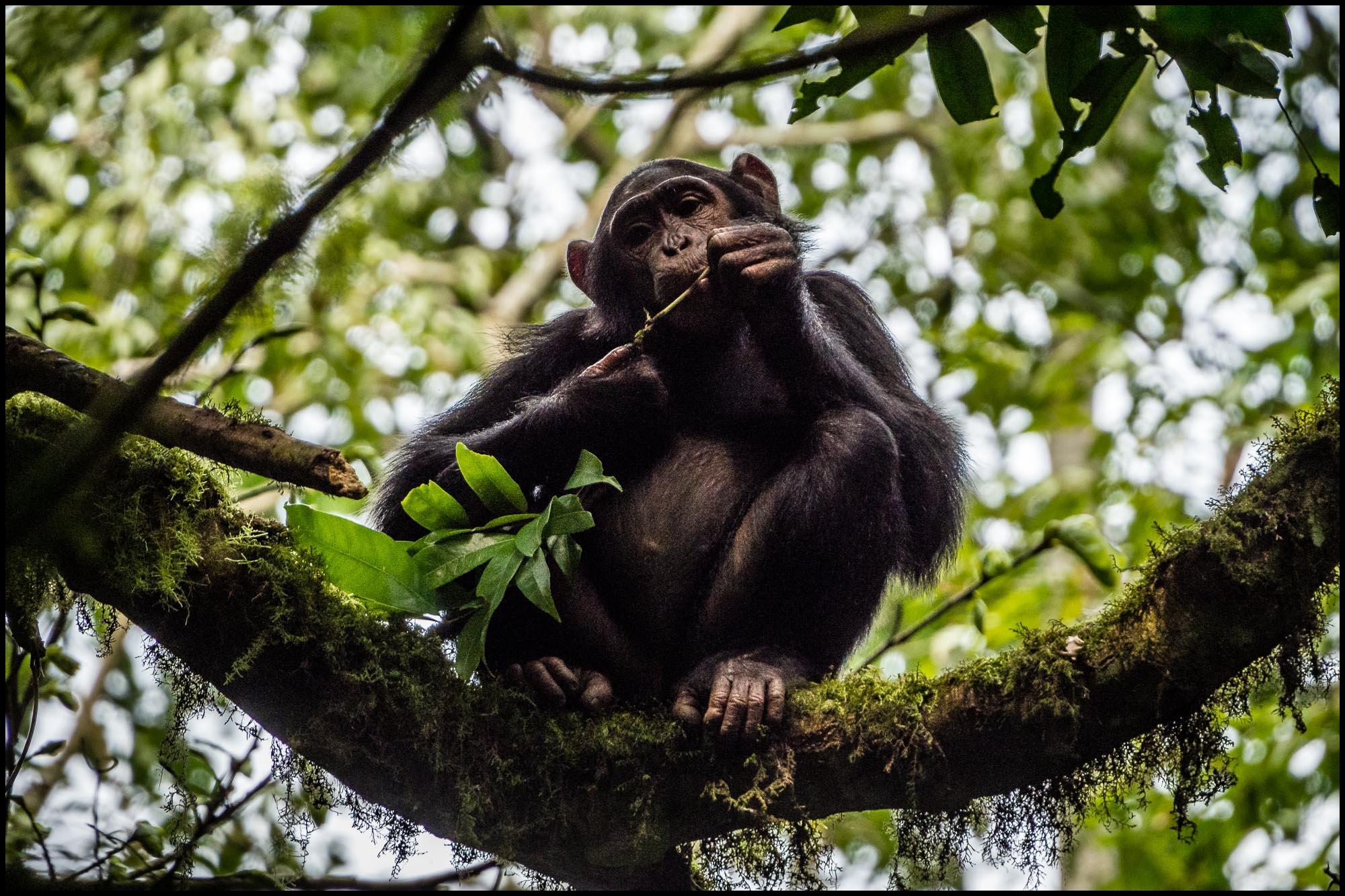 Schimpanse auf Baum